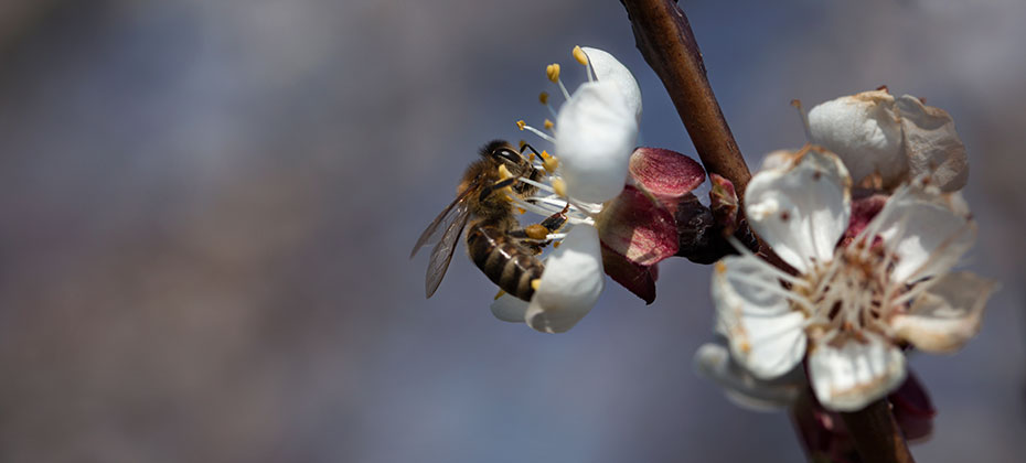 Bee on apricot blossom against a dark sky