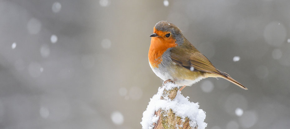 A robin on a snow-covered tree stump
