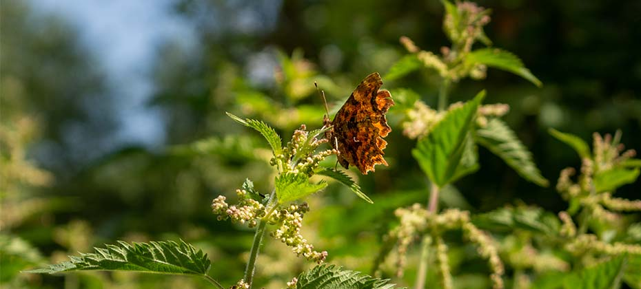 A brown butterfly on a stinging nettle with nutlets